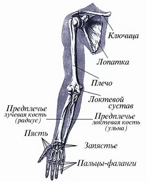 Анатомия руки