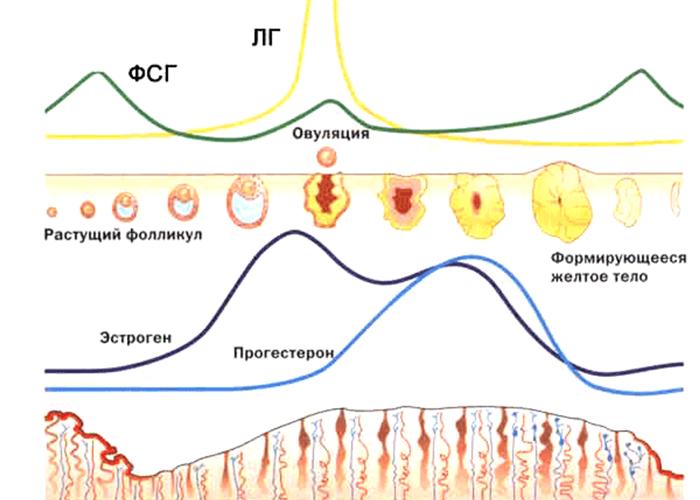 Прогестерон и эстрогены