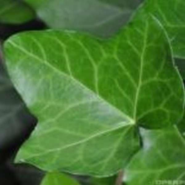 Эффективные обёртывания Гуам против целлюлита