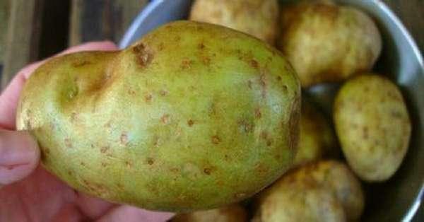 Картофель с зеленым оттенком
