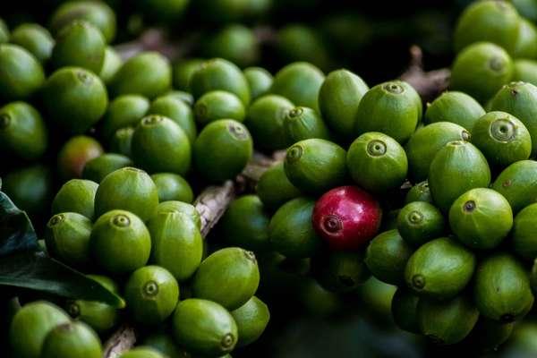 Зелёный кофе с имбирём для похудения – отзывы специалистов