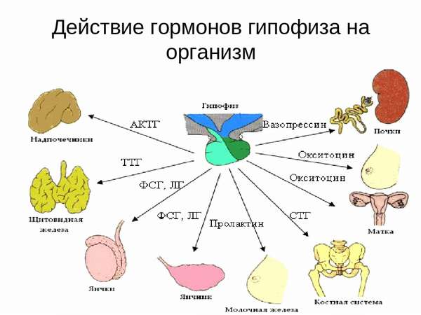 Действие гормонов гипофиза