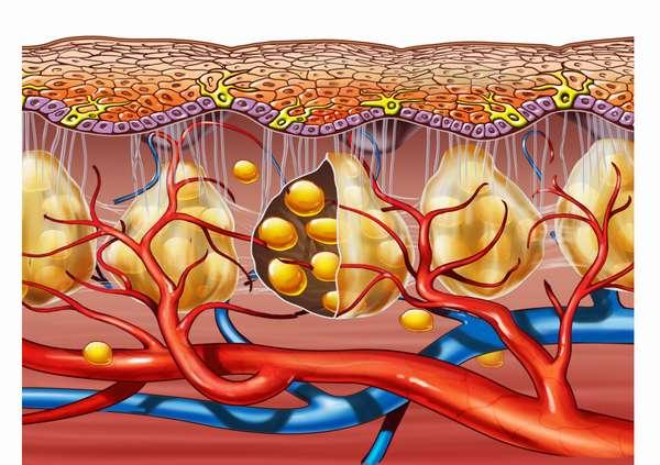 Связь целлюлита и гормонов