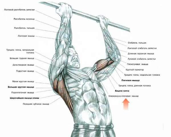 подтягивания рабочие мышцы